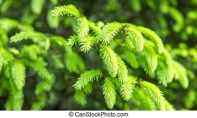 Spruce branches on a green background.The blue spruce, green...