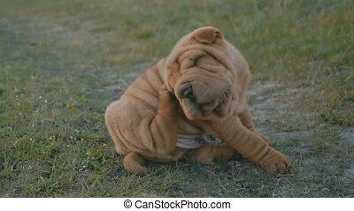 The little dog itches behind his ear - A small shar pei dog...