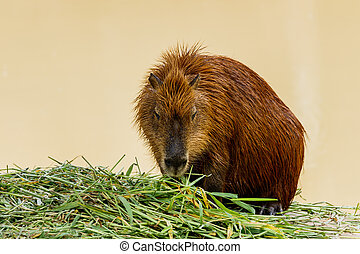 ig Capybara (hydrochoerus hydrochaeris) in the zoo