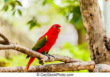 Chattering lory sitting on a tree branch