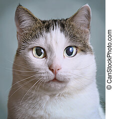 close up portrait of siberian cat with blue eyes on blue...