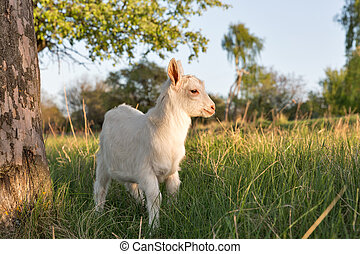 Domestic baby goat in a pasture spring orchard closeup,...