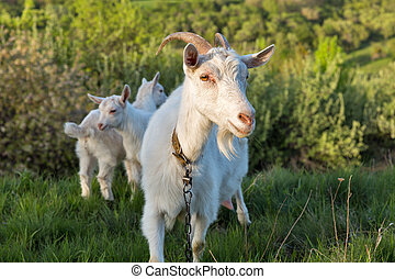 Family of domestic goats in a pasture spring orchard,...