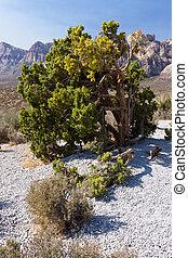 Desert Tree at Red Rock Canyon