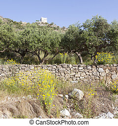 olive trees and yellow flowers near stoupa in mani on greek...