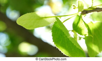 Fresh young green linden leaves bright sun light, close up...