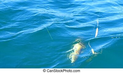 Pulling a cod fish. Fish caught on deep-sea fishing and...