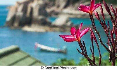 Vivid red blossom plumeria. Longtail boat in the blue bay in...
