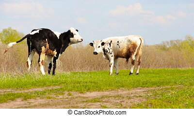 Cows grazing on a meadow 2