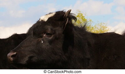 Cow looks into the camera lens 7