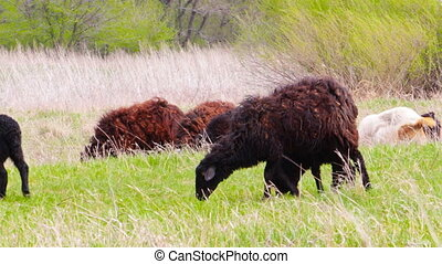 Goats grazing on meadow - A black sheep with a lamb passes...