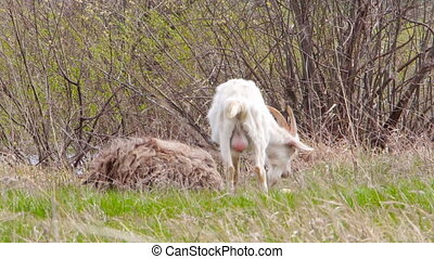 White goat grazing in the meadow - White goat with balls...