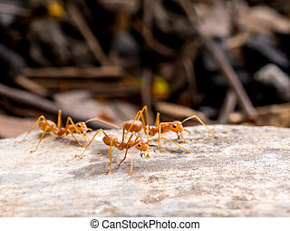 Red ants group chasing to threat