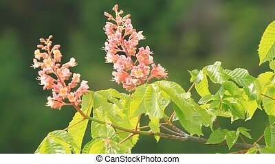 Blossom chestnut tree and green leaves