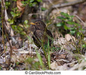 Blackbird in the undergrowth - Blackbird in the middle of...