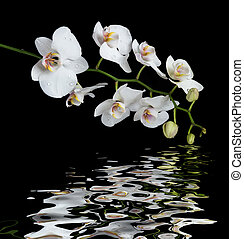 White Orchid on a black background reflected in a water -...