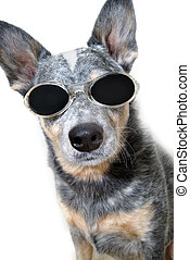 incognito - dog with sunglasses