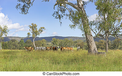 Australian landscape with gum trees and cows - Rural...