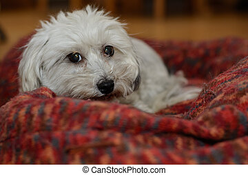 Havanese in his dog bed - White dog lying in his big dog bed...