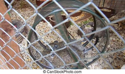 Animals in hamster wheel - Two animals running in hamster...