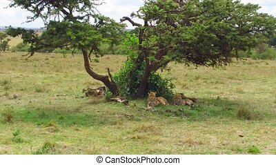 cheetahs lying under tree in savanna at africa - animal,...