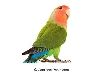 portrait lovebird on a white background