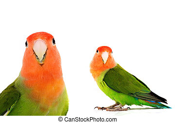 lovebird on a white background