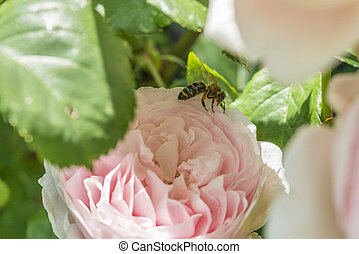 Closeup of red rose flower in a garden with a bee on the...