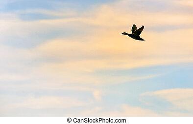 Mallard Duck Flying - Silhouette of mallard duck flying