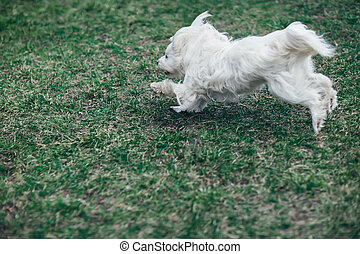 ?ute white dog running outdoors on a green grass