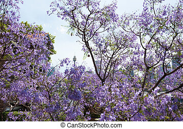 Jacaranda trees with Sydney Tower on the background