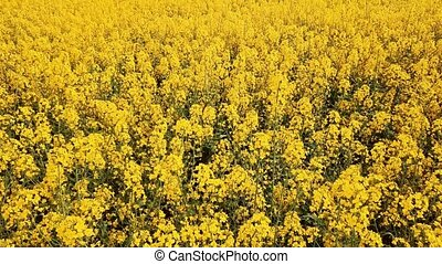 Low level flight over blooming rapeseed field - Low altitude...
