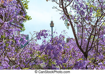 Jacaranda flowers close up with blurred Sydney Tower on the...