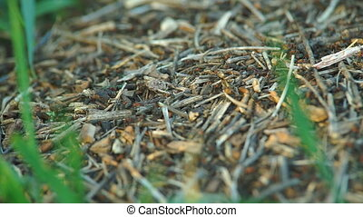 Anthill in the Spring Forest - The construction of new big...