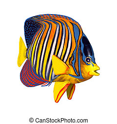 3D Rendering Royal Angelfish on White - 3D rendering of a...