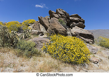 Wildlfowers Blooming in Anza-Borrego State Park, California...