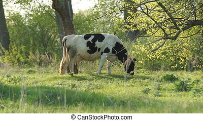 Cow Grazed in the Meadow - A cow peacefully grazing on a...