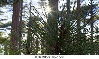Pine needle branch in sunlight. Coniferous forest in...
