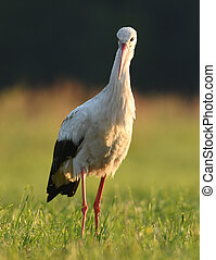 White stork (Ciconia ciconia) hunting on the meadow