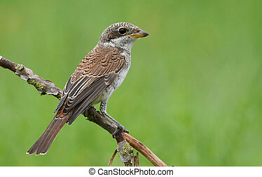 Red-backed shrike (Lanius Collurio) - young