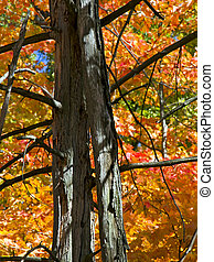 Fall Color Silhouettes Snags