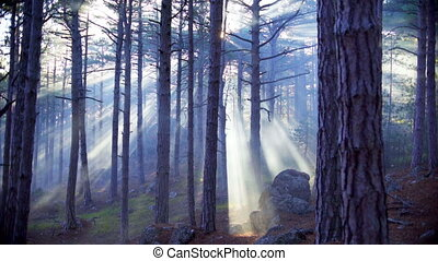 The rays of the setting sun through the fog in coniferous...