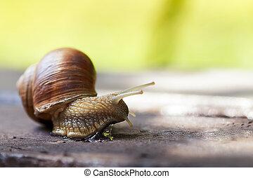 Burgundy snail (Helix pomatia) - Burgundy snail (Helix...