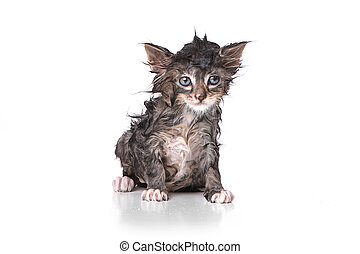 Dripping Wet Kitten on White - Adorable Dripping Wet Kitten...