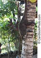 Coati Climbing Down Tree - Female white nosed coati climbing...