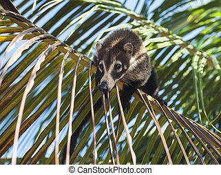 Coati Balancing on Palm Branch - Female white nosed coati...