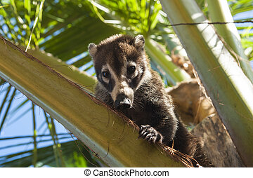 Coati Sitting in a Palm Tree - Female white nosed coati...