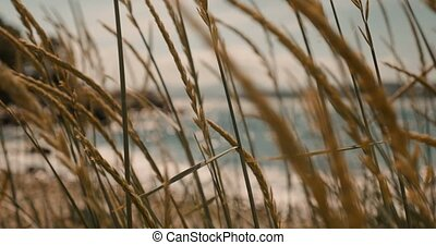 Beautiful Rack Focus Through Seed Onto The Atlantic Ocean,...