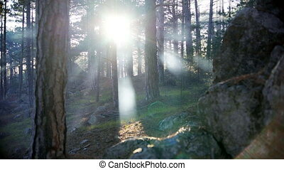 Rising sun rays in the summer forest in backlight