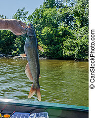 Sport fishing for catfish - Fisherman holding freshly caught...